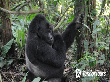 3 Days Gorilla trekking Safari Uganda, Bwindi Impenetrable Forest