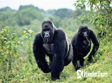 5 Days gorilla and kibale chimp tracking safari