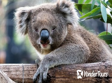Adelaide Zoo Behind the Scenes Experience: Koala Encounter