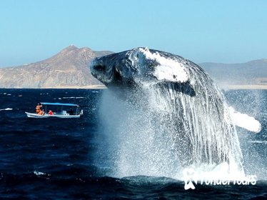 Cabo Whale-Watching tour with Open bar and Lunch included
