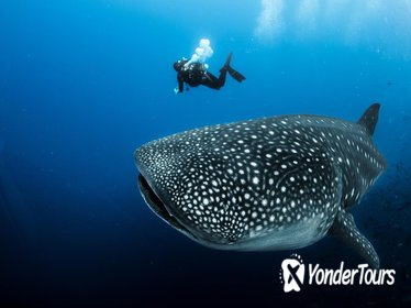 Experience Swimming with Whale Sharks and Island Hopping to Sumilon!