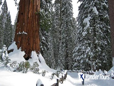 Giant Sequoia Grove Hike or Snowshoe