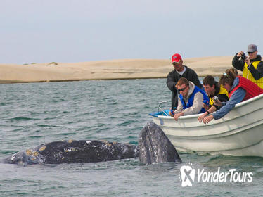 Gray Whales and Whale Shark Adventure