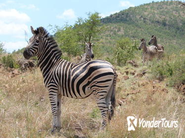 Pillanesburg National Park Safari with Lesedi Cultural Village Day Tour