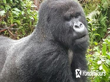 3-Day Gorilla and Golden Monkey Trekking from Kigali